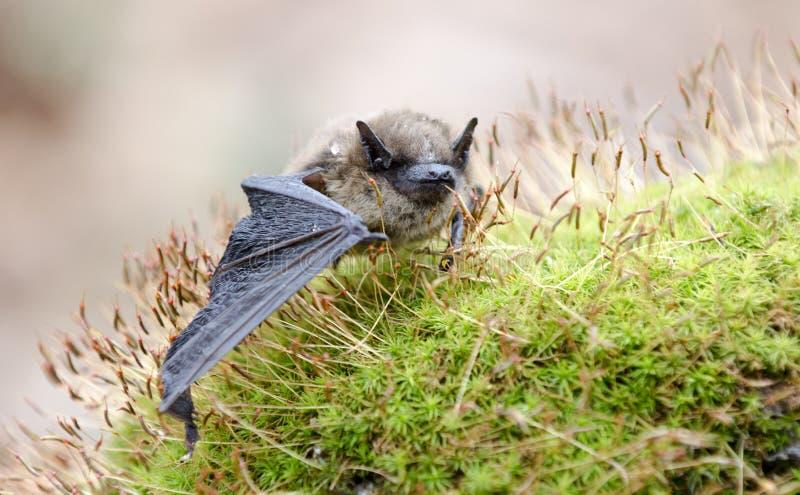 Poco pipistrello di Brown, Georgia U.S.A. fotografia stock libera da diritti