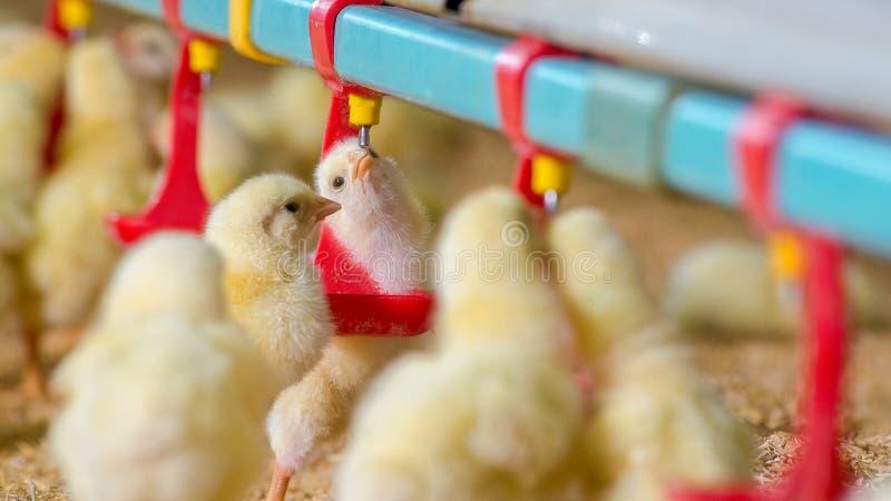 Poco polluelos amarillos del pollo en agua de alimentación imagen de archivo