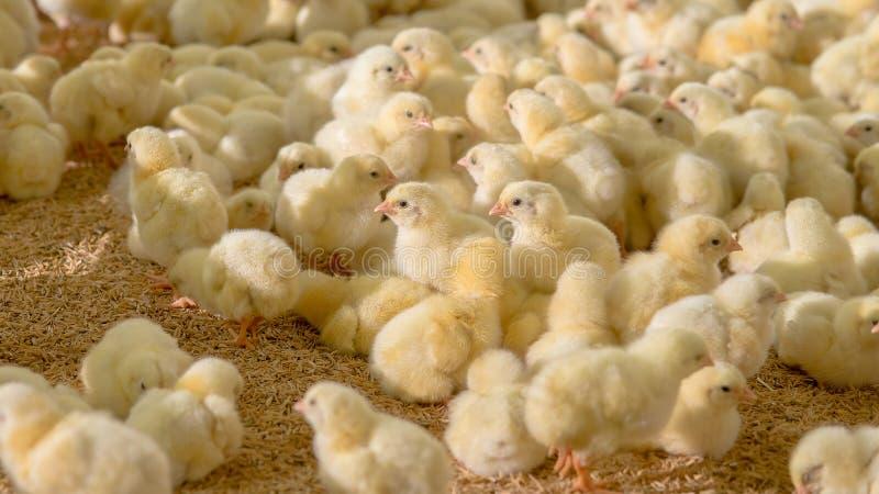 Poco polluelos amarillos del pollo en negocio de la granja avícola imágenes de archivo libres de regalías