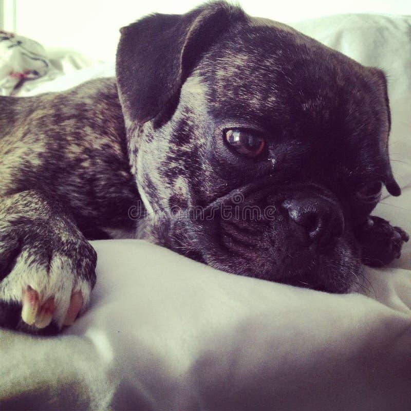 Poco reclinación del perrito del barro amasado del dogo francés foto de archivo libre de regalías