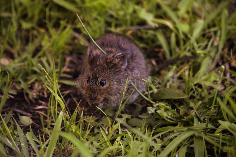 Poco roedor salvaje fotos de archivo libres de regalías