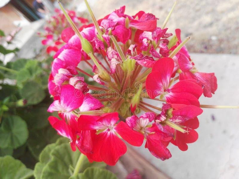 Poco rojo de la flor con rosa fotos de archivo
