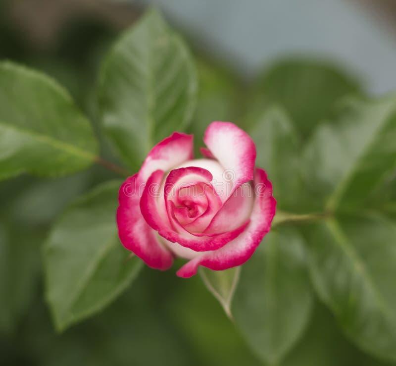 Poco rosa è aumentato crescendo nel giardino fotografia stock