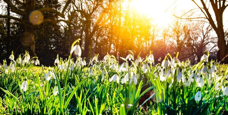 Poco snowdrop en el sol de la primavera foto de archivo