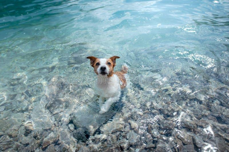 Poco terrier de Russell del enchufe del perro en un lago de la montaña Perro del viaje, animal doméstico en naturaleza foto de archivo