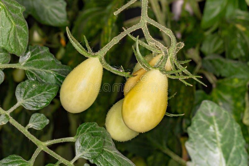 Poco tomates que maduran en el invernadero en la tierra imagen de archivo