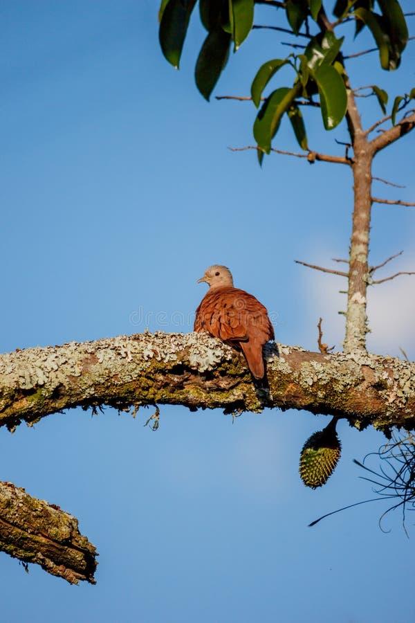 Poco uccello della colomba sul ramo di albero fotografia stock libera da diritti