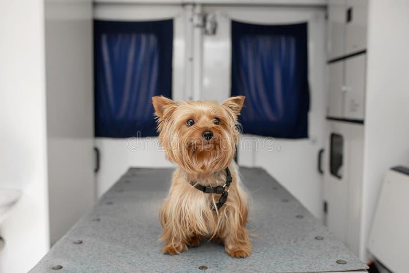 Poco Yorkshire terrier canino di divertimento che posa sulla tavola di manipolazione dentro l'automobile dell'ambulanza dell'anim immagini stock