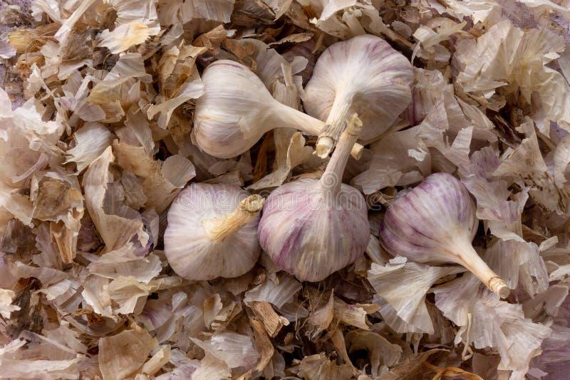 Pocos bulbos del ajo en la peladura de la pila Imagen del primer del concepto de la cosecha del verano o del otoño de comida de d fotos de archivo