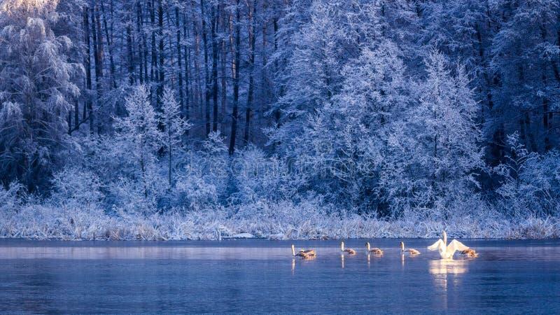 Pocos cisnes en el lago congelado en la salida del sol imagenes de archivo