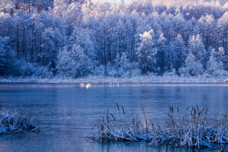 Pocos cisnes en el lago congelado en la salida del sol, Polonia fotografía de archivo