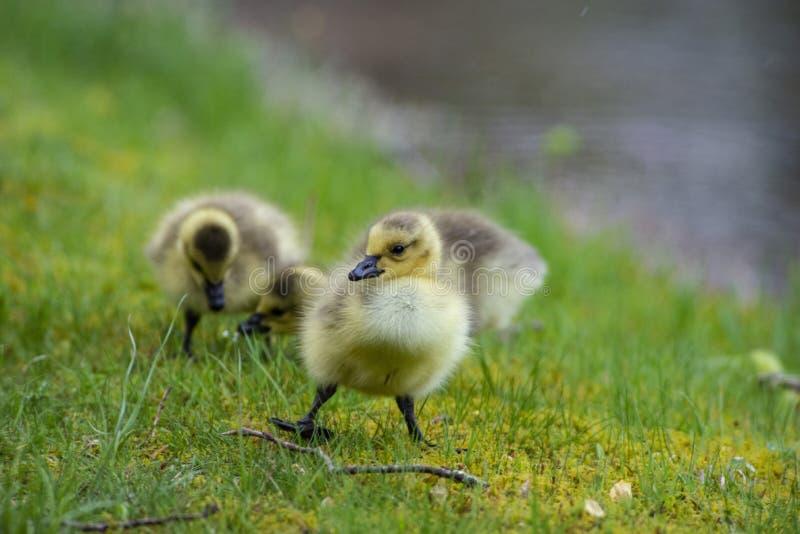 Pocos polluelos del ganso de Canadá que caminan en hierba verde imagenes de archivo