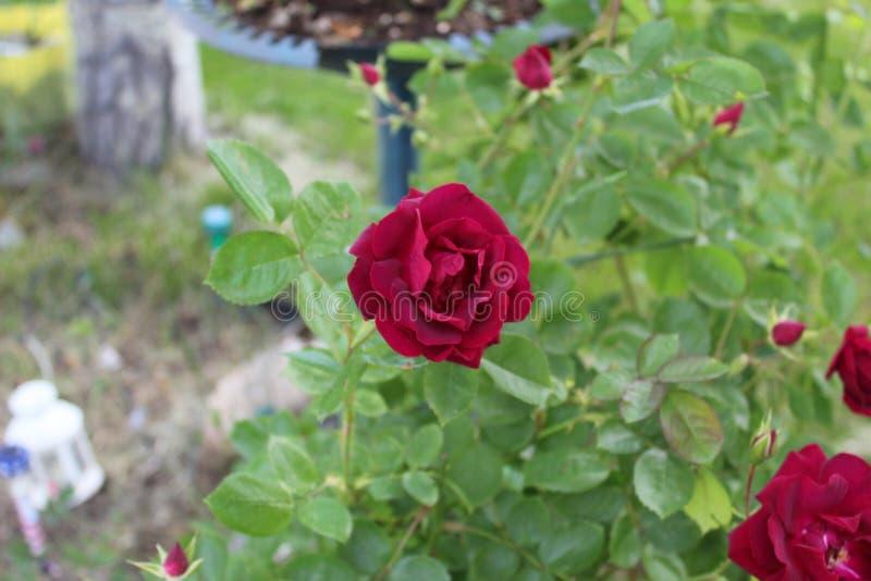 Pocos se cierran encima de la rosa de color rojo oscuro púrpura k fotografía de archivo
