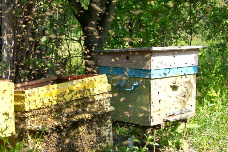 Pocz?tkuj?ca r?jka pszczo?y zdjęcia stock