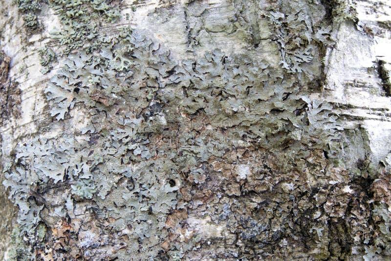 Podława brzozy barkentyna zakrywająca z szarego liszaju naturalnym tłem zdjęcie royalty free