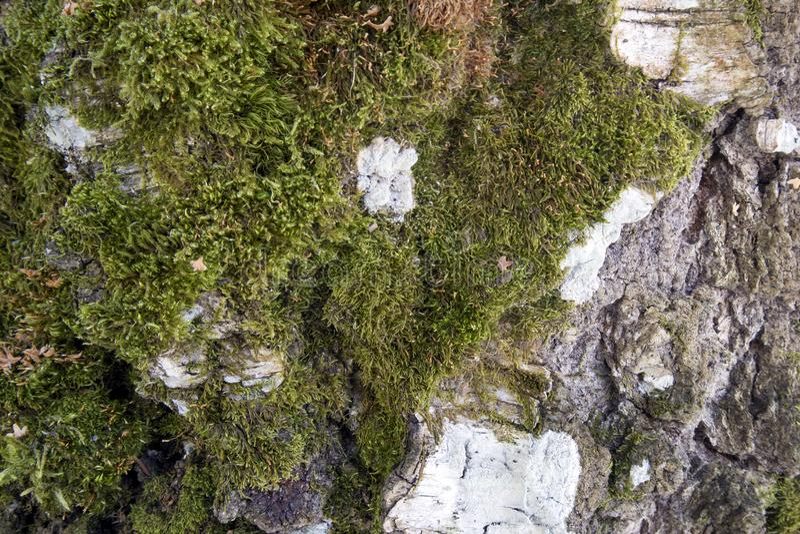Podława brzozy barkentyna zakrywająca z zielonego mech naturalnym tłem fotografia royalty free