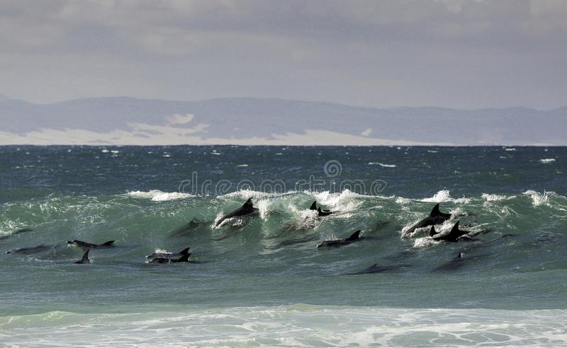 Pod of bottlenose dolphins surfing a wave stock image