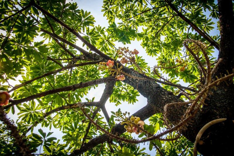 Pod Cannonball Drzewnymi kwiatami (Couroupita guianensis) zdjęcia royalty free