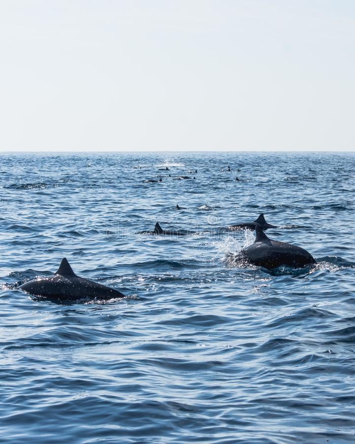 Pod of Dolphins. royalty free stock image