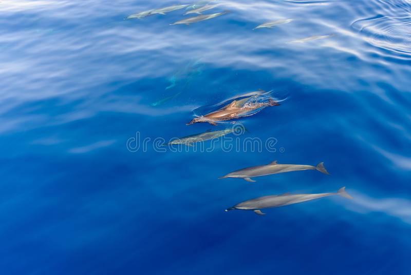Pod Of Dolphins Swimming In The Sea Stock Photo Image