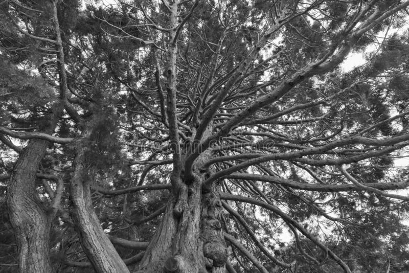 Pod gigantycznym dębowego drzewa zakończeniem up, naturalny tło zdjęcie royalty free