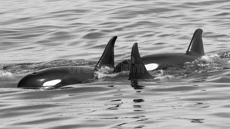 A Pod of Killer Whales Play Together  in South Central Alaska royalty free stock photography