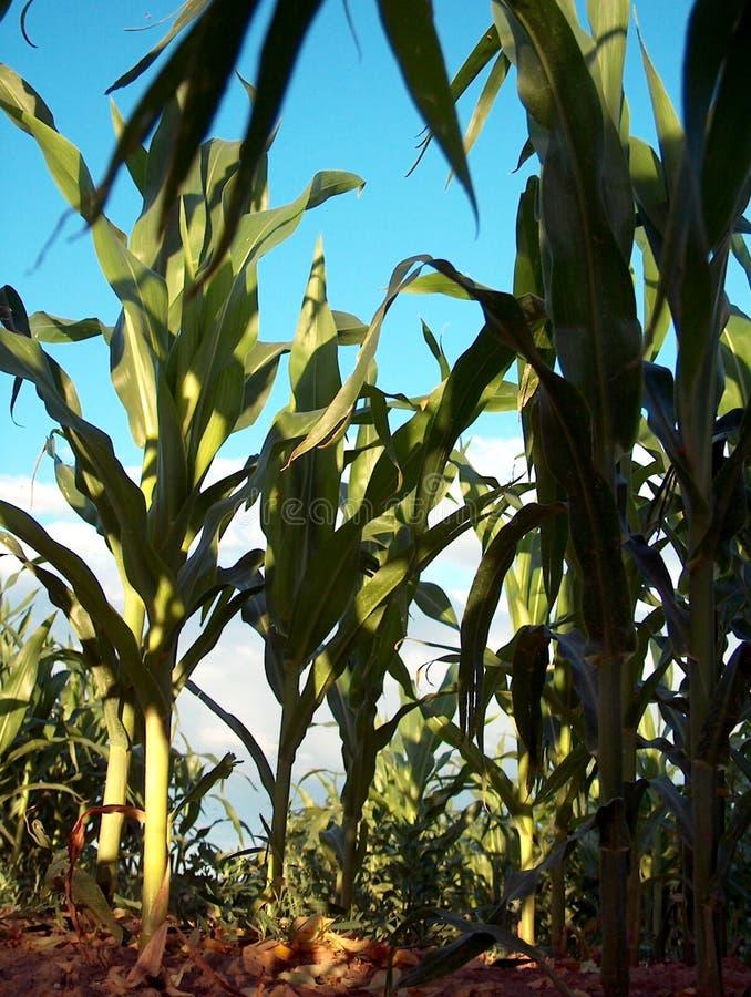 Download Pod kukurydzą obraz stock. Obraz złożonej z fielder, kukurudza - 28375