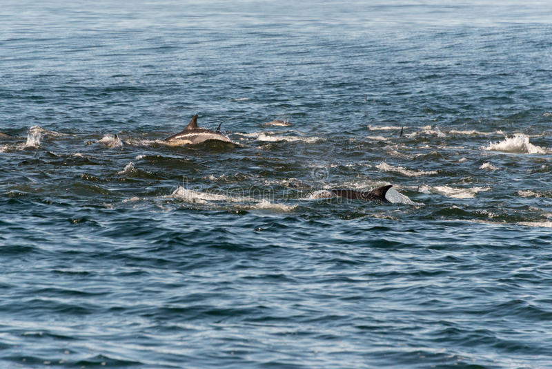 A pod of long beaked common dolphins royalty free stock photography