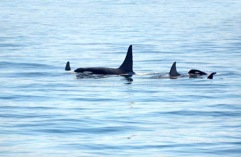 Pod of Orca Killer whale swimming, with a small baby calf whale following at the back, Victoria, Canada stock photography