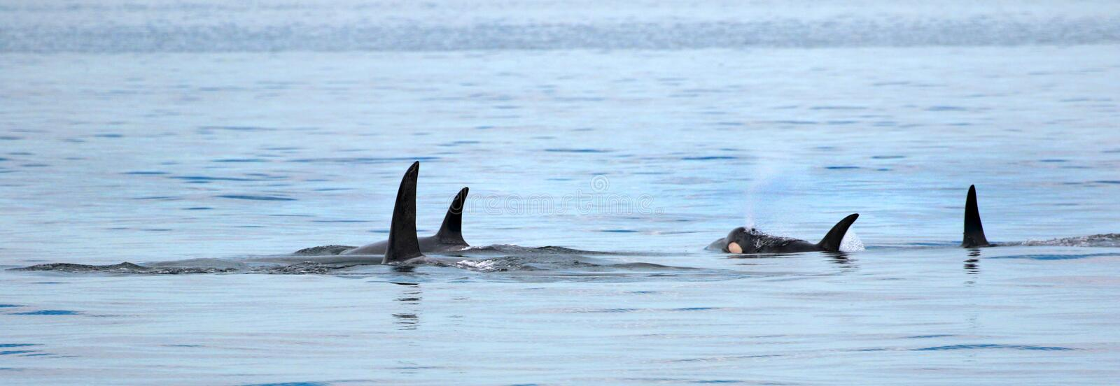 Pod of Orca Killer whale swimming, Victoria, Canada. Blue ocean royalty free stock photo