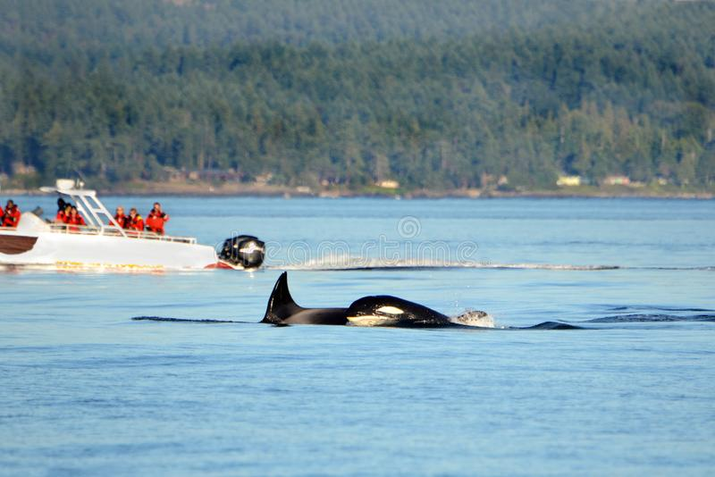 Pod of Orca Killer whale swimming, with whale watching boat in the background, Victoria, Canada stock photos