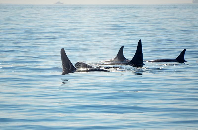 Pod of Orca Killer whales with a calf, blowing and swimming in blue Ocean, Victoria, Canada stock photography