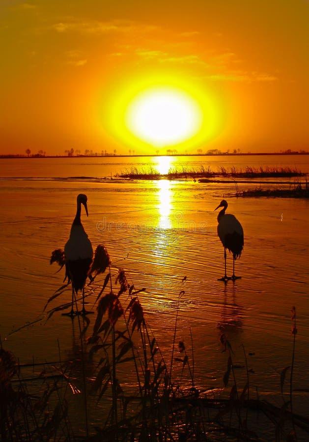 Pod położenia słońcem jest w oku koronujący żuraw obrazy royalty free