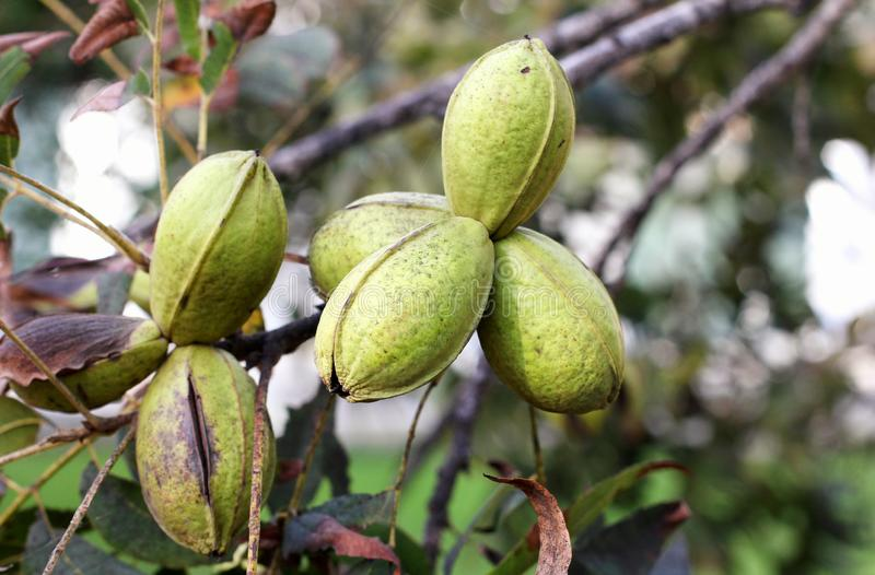 Pod of ripe pecan nuts on branch of tree. Harvesting time in the garden.  stock image