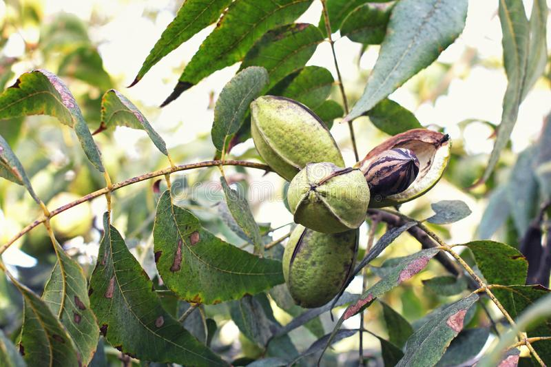 Pod of ripe pecan nuts on branch of tree. One shell has opened and we can see the nut itself. Selective focus stock photo