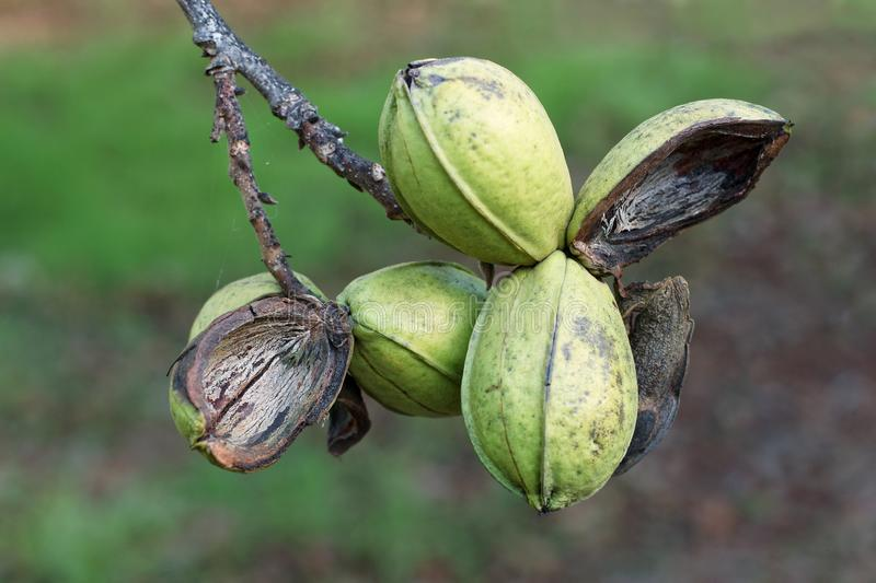 Pod of ripe pecan nuts on branch of tree. Some shells are open. Close-up.  royalty free stock image