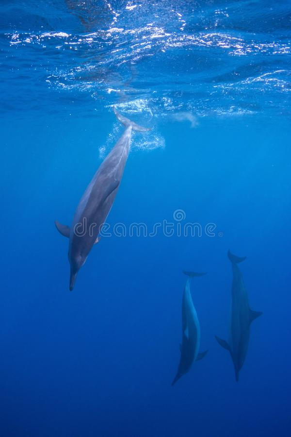 Dolphins Diving. A pod of spinner dolphins in Hawaii stock photos