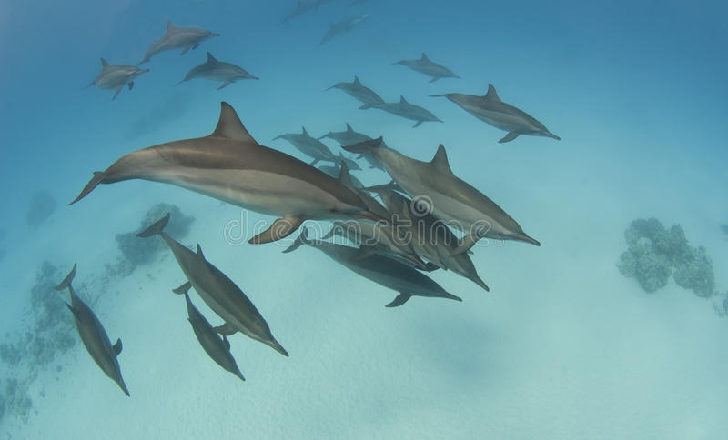 Pod of wild spinner dolphins royalty free stock photos
