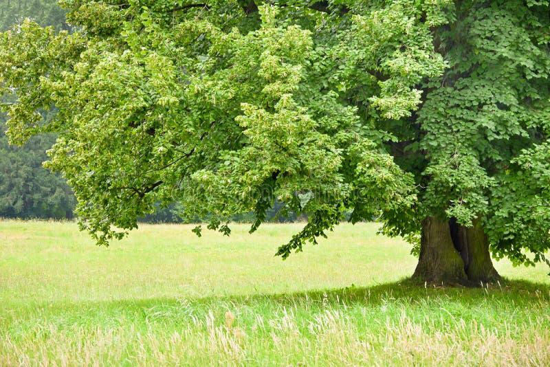 Pod zielenią lipową na tle kolorowe łąki zdjęcia royalty free
