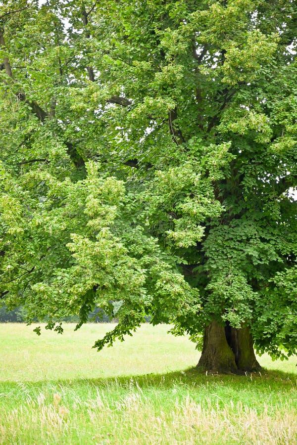Pod zielenią lipową na tle kolorowe łąki obrazy stock