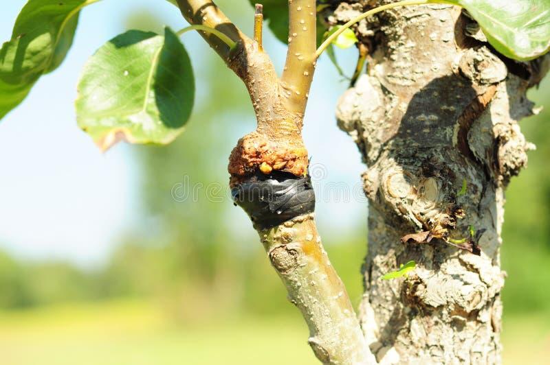 Poda acertada del árbol frutal Árbol frutal de injerto y de florecimiento foto de archivo libre de regalías