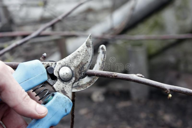 poda com tesouras de poda na mola Pruns do jardineiro as árvores de fruto por tesouras da tesoura de podar manual Mão do fazendei imagem de stock royalty free
