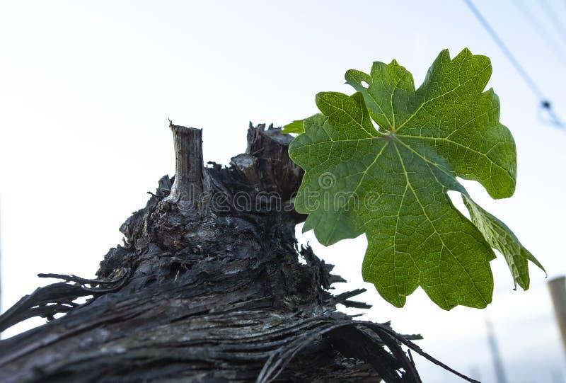 Poda da árvore da uva Podado e aparado para que o crescimento colha fotos de stock royalty free