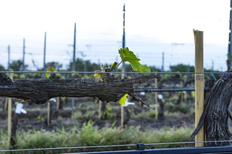 Poda da árvore da uva Podado e aparado para que o crescimento colha imagem de stock royalty free
