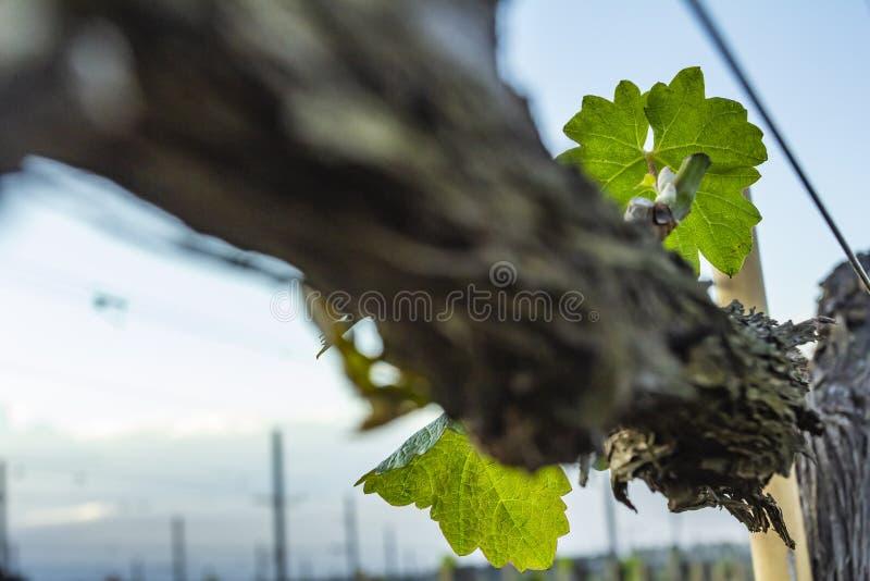 Poda da árvore da uva Podado e aparado para que o crescimento colha fotos de stock
