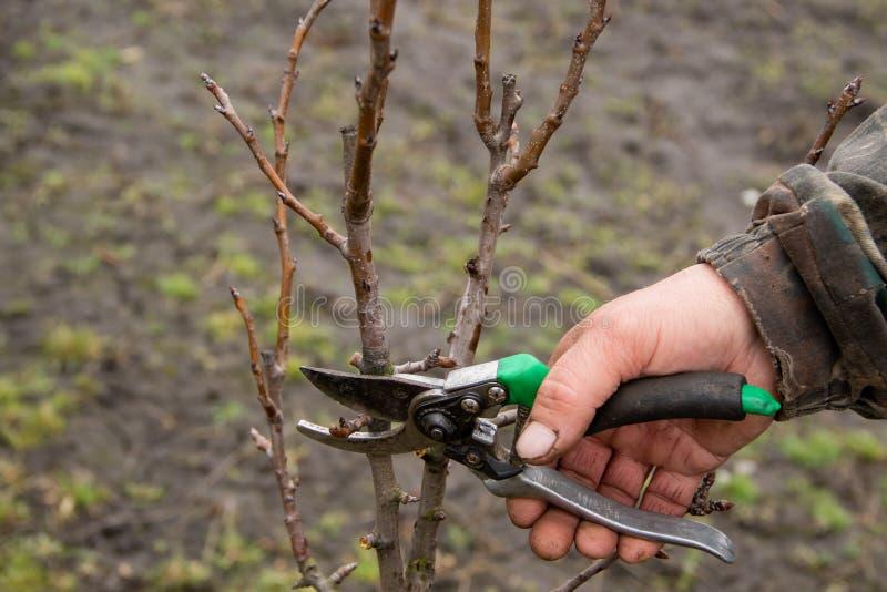 Poda das árvores, os cortes do outono do indivíduo com tesouras um ramo de uma pera no jardim fotografia de stock royalty free
