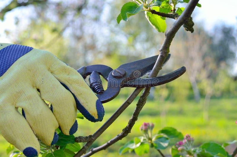 Poda de la primavera de los esquileos de jardín jovenes del árbol frutal de las ramas foto de archivo