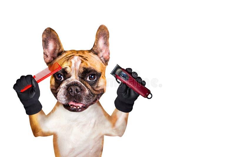 Podadoras y peine divertidos del control del groomer del peluquero del dogo franc?s del jengibre del perro Hombre aislado en el f imagen de archivo libre de regalías