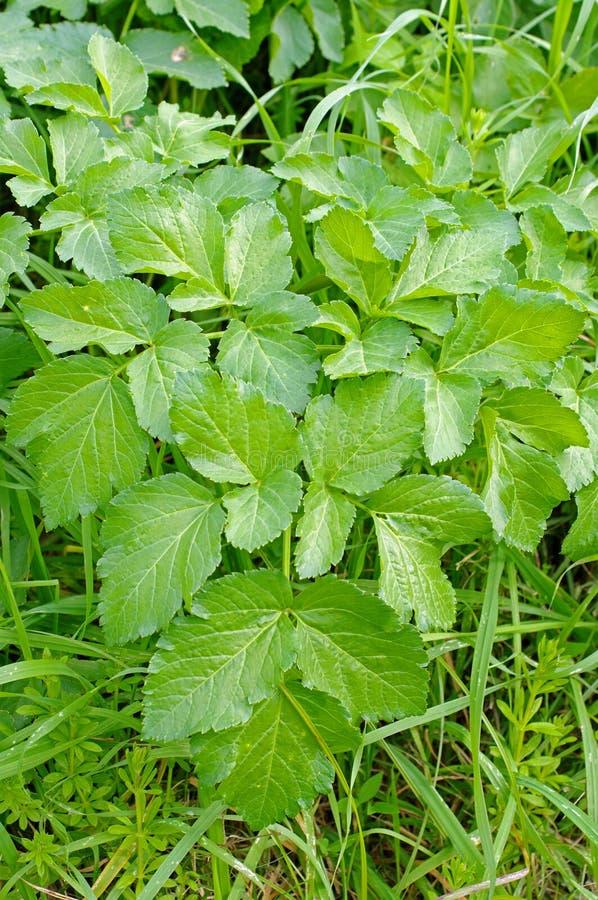 Podagraria de Aegopodium, a pessoa idosa à terra, do Apiaceae da família imagens de stock royalty free