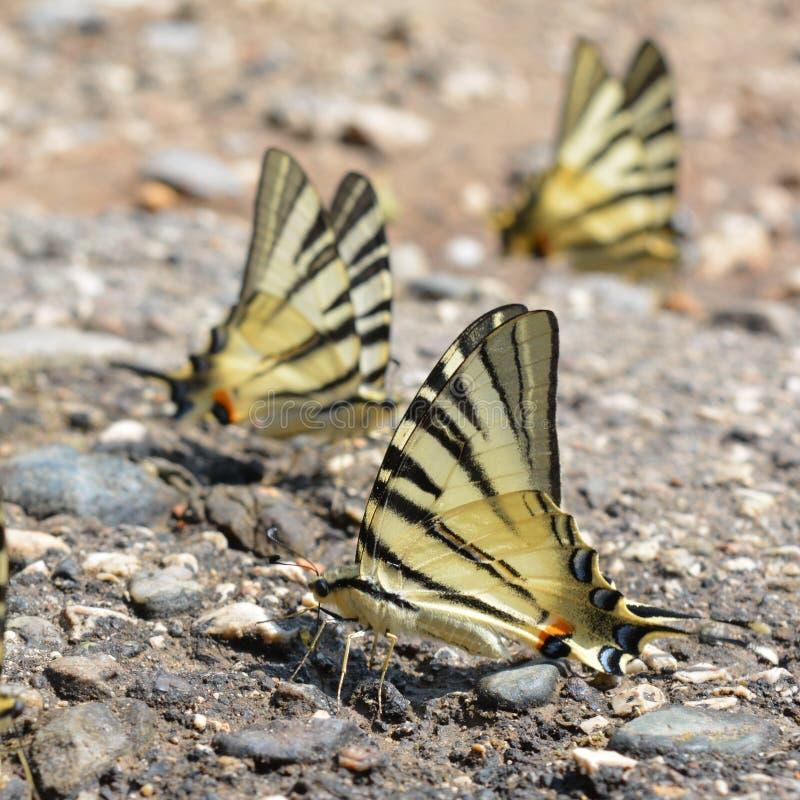 Podalirius de Iphiclides das borboletas imagens de stock
